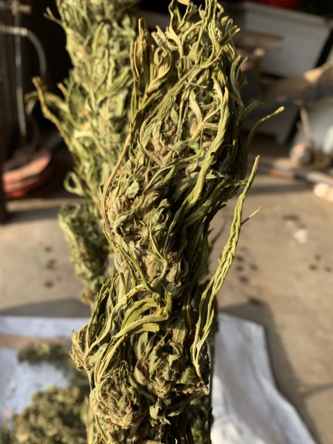Hand-cut certified organic Hawaiian Haze hemp