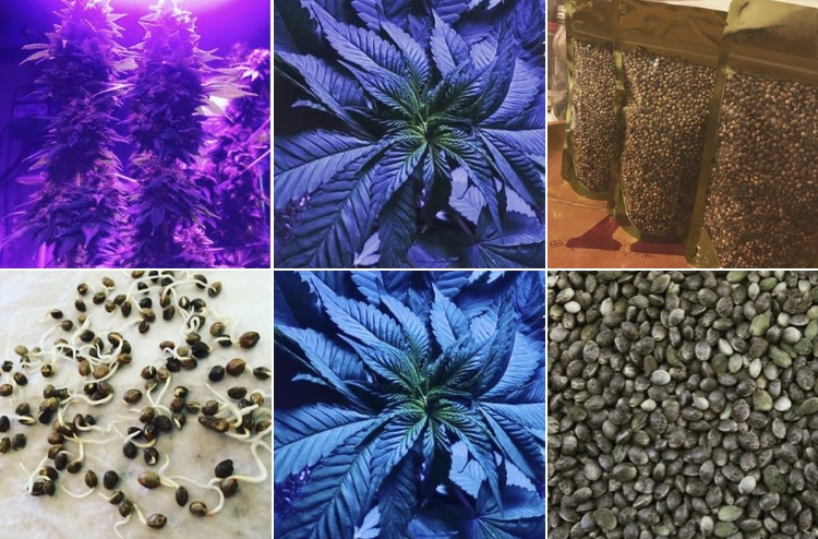 Organic Compliant Hemp / Cbd seeds Abacus strain 98-100% germination rate!