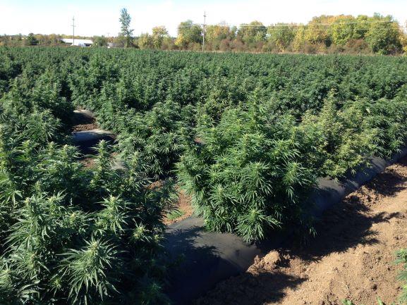 Willamette Valley Hemp Plants Whole/Chopped & in bales
