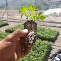Healthy, Pest Free, Fully Rooted Hemp Clones