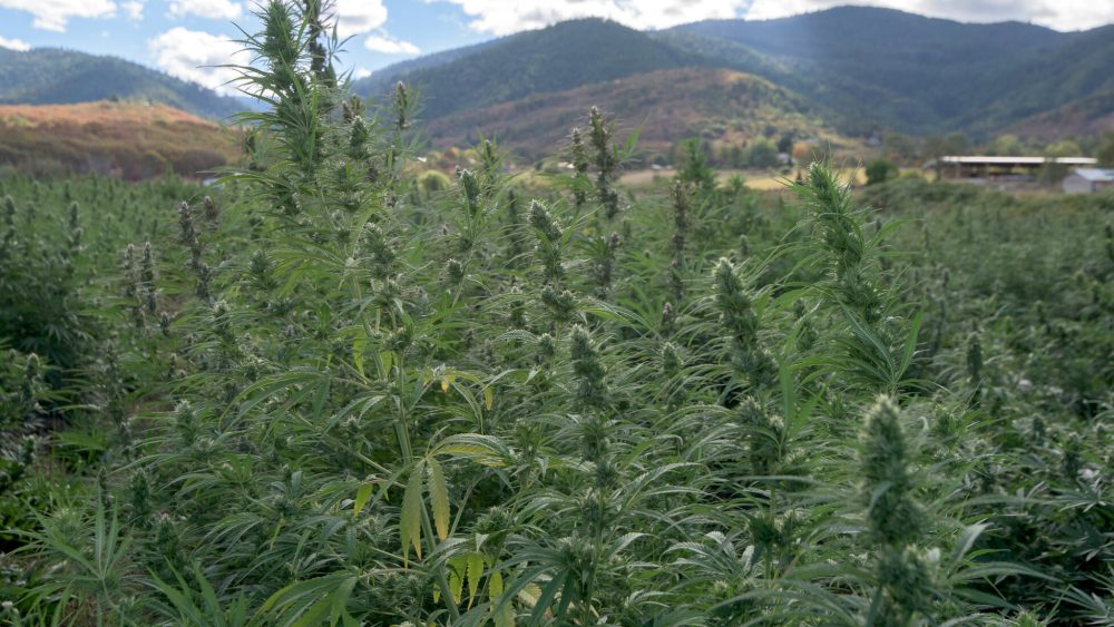 Joint Venture / Investment on 130 acres of CBD Hemp Farm