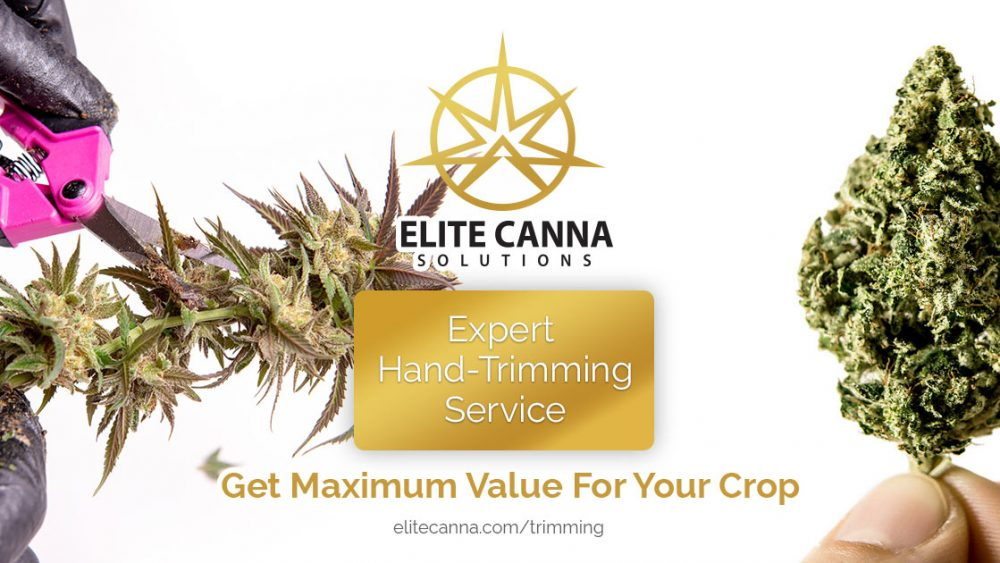 Expert Hemp Trimming Service - Beautifully Manicured Results. Get Top Dollar For Your Crop.