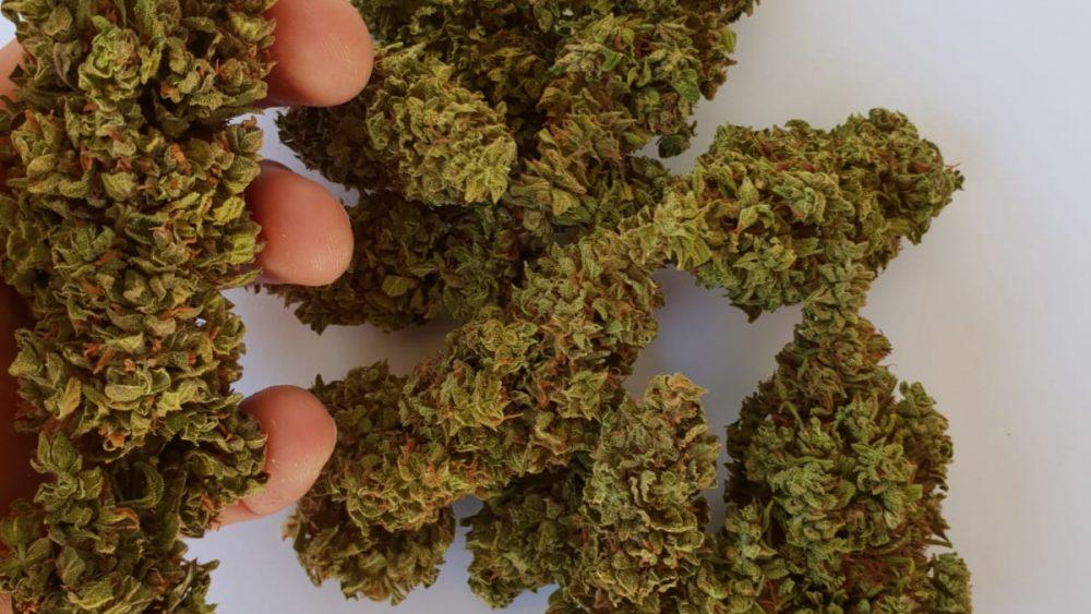 Seedless hemp Flower Carmagnola 6,5% CBD