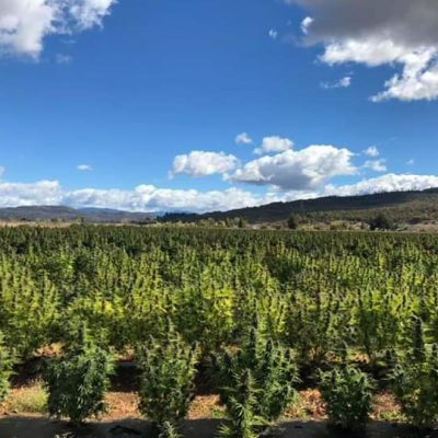 Oregon Grown 13-17% CBD Biomass Flower/ Isolate $4,900 a Kilo with 10,000 a month contract