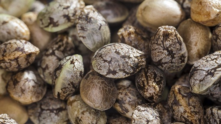 99% Feminized Hemp Seeds / 20: 0.03 CBD/THC Ratio