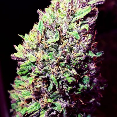Beautifully Cultivated Trimmed CBD Flower