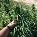 Over 18% CBD Premium Flower Biomass