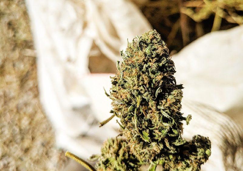 Hand shucked high CBD hemp biomass available now!