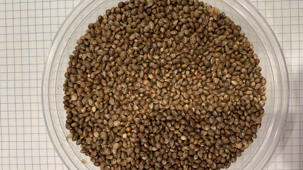 Feminized Autoflower CBD Seeds - Gloria's Lemon Haze