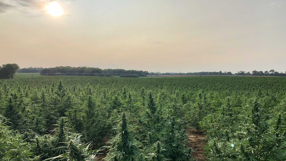 2020 Hemp Biomass - 8 million lbs. from Delta Agriculture - Supply Contracts Preferred