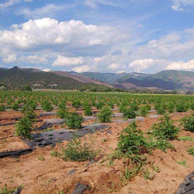 Hemp Biomass Futures
