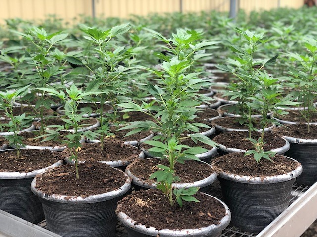 Feminized Hemp Seeds, Seedlings, Clones and Mothers