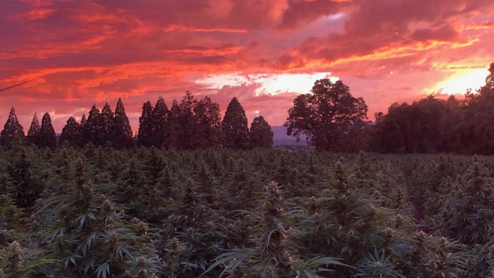 PREMIUM CBD FLOWER AND BIOMASS / 2 STRAINS ORGANICALLY GROWN AND PESTICIDE FREE / OREGON