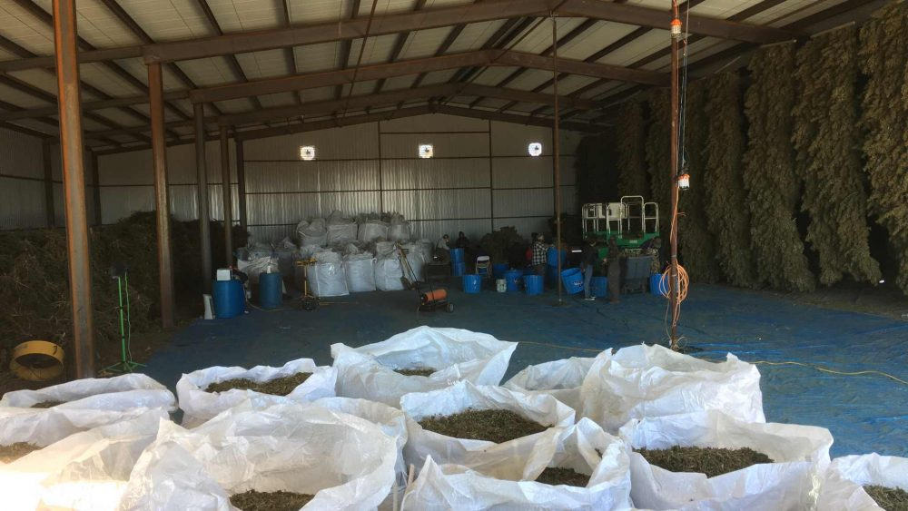Colorado Farm has 20,000 pounds of 8.1% CBD Biomass available for sale $40 per pound