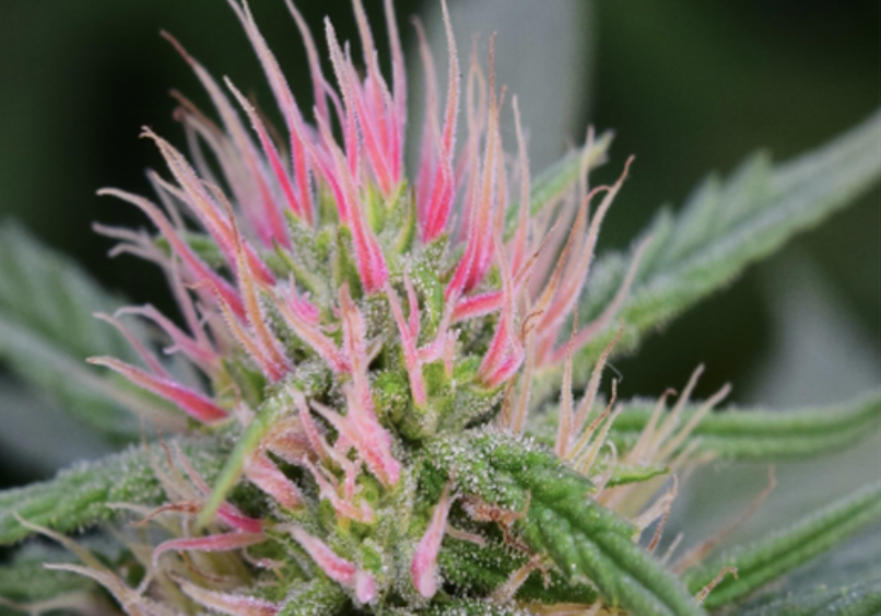 HGH Seeds (High Quality Feminized Seeds/Seedlings)