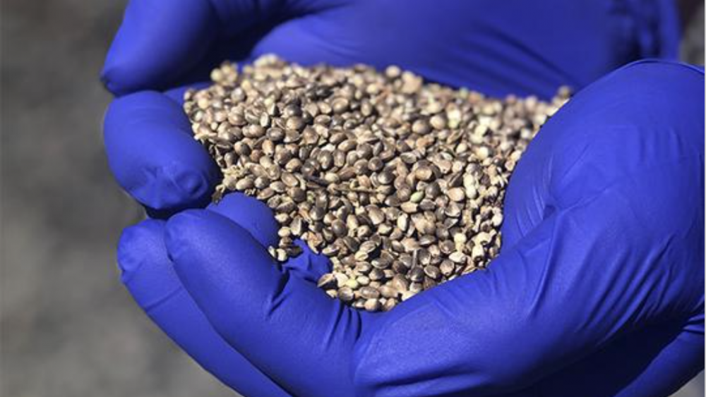 Femenized Hemp Seeds (from $0.50)